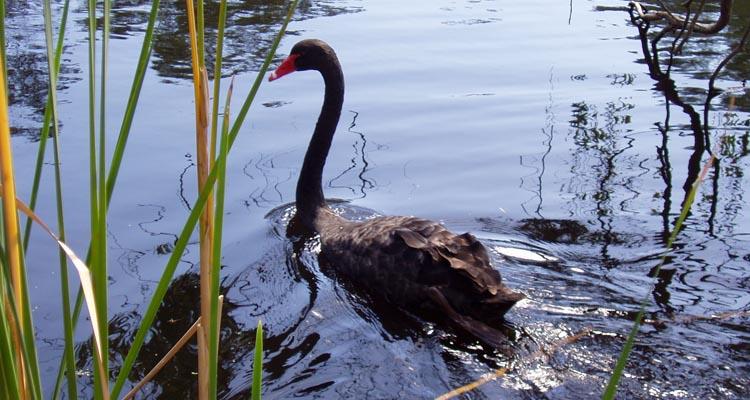 Black Swan on Wilson wetlands