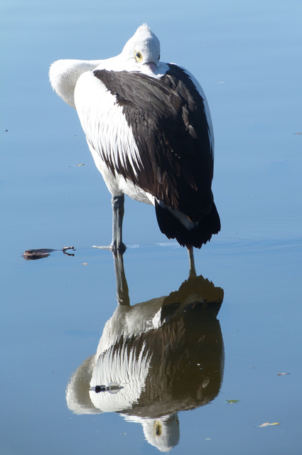 CRREPA - pelican2