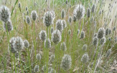 Foxtail mulga grass