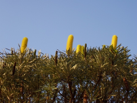 Banksia littoralis