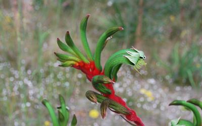Anigozanthos manglesii - Kangaroo paw
