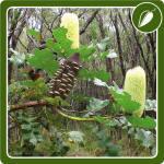 Bull Banksia