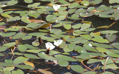 Native water lily